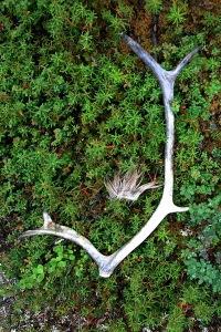 caribou-antler